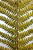 Detail of green ferns as a background Royalty Free Stock Photography