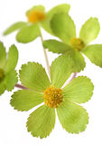 Detail of green flower Royalty Free Stock Images