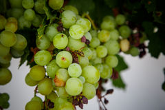 Detail of green grapes in a vine Stock Photo