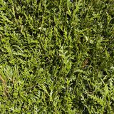 Detail of green hedge stock photography