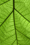 Detail green leaf stock image