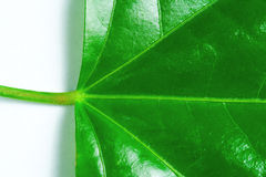 Detail on green leaf Stock Photography