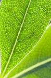 Detail of green leaf in back light. With veins and cells Royalty Free Stock Image