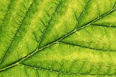 Detail of green leaf (background) Royalty Free Stock Photo