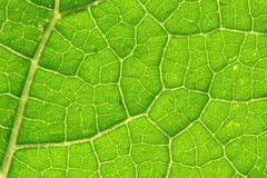 Detail of green leaf (background) Stock Images