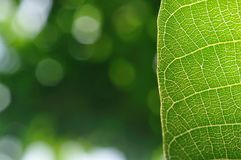 Detail of green leaf with blurred background Stock Photos