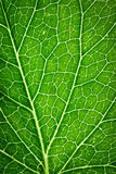 Detail on green leaf capillaries. Abstract background or texture detail on green leaf capillaries Royalty Free Stock Photo