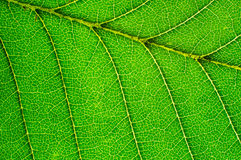 Detail of green leaf Royalty Free Stock Photo