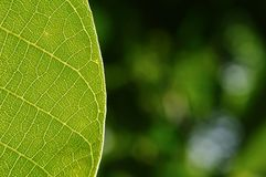 Detail of green leaf with natural background Stock Photo