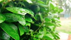 Detail of green leaf and wet when raining drops falling down, slow stock video
