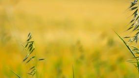 Detail of green oat grass growing in barley field. Field of ripening corn plants in June stock footage