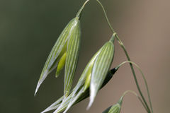 Detail of the green Oat Spike. Detail of the Oat Spike Royalty Free Stock Image