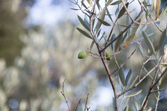 Detail of Green Olive Tree Branch Royalty Free Stock Photos
