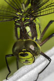 Detail on the the green Ophiogomphus cecilia with a scarred eye. Detail on the Ophiogomphus cecilia. Green Snaketail dragonfly stock image
