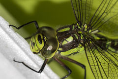 Detail on the the green Ophiogomphus cecilia with a scarred eye. Detail on the Ophiogomphus cecilia. Green Snaketail dragonfly stock photography