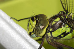 Detail on the the green Ophiogomphus cecilia with a scarred eye. Detail on the Ophiogomphus cecilia. Green Snaketail dragonfly royalty free stock photography