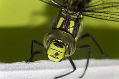 Detail on the the green Ophiogomphus cecilia with a scarred eye. Detail on the Ophiogomphus cecilia. Green Snaketail dragonfly stock images