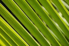 Detail on green palm leaf at Asia Stock Photo