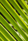 Detail on green palm leaf. Royalty Free Stock Photos