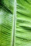 Detail of Green Palm Leaf with Small Drops Royalty Free Stock Photography