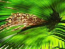 Detail green palm tree leaf underside Royalty Free Stock Photos
