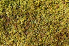Detail of green sphagnum moss plants on a fallen log. Closeup detail of green sphagnum moss plants crowded on a fallen log in winter in western Pennsylvania Royalty Free Stock Photography