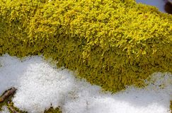 Detail of green sphagnum moss plants on a fallen log in the snow. Closeup detail of green sphagnum moss plants crowded on a fallen log in winter in western Stock Photos