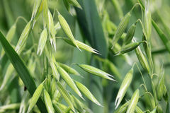 Detail of of the green Spike Oat Royalty Free Stock Photography