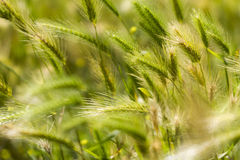 Detail of a green spring wheat field. With some blurred ears stock photos