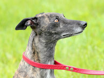 Detail of grey Wippet dog Stock Photography