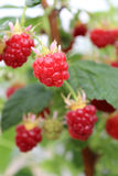 Growing raspberry in hydroponic plantation Royalty Free Stock Photography