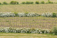 Detail of growing vineyard and brown fields Royalty Free Stock Photo