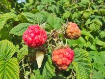 Detail of grown fresh ripe red raspberries Royalty Free Stock Photos