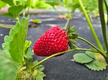 Detail of grown fresh ripe red strawberry Royalty Free Stock Photo