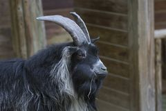 Detail of goat head in the farm. Detail of hairy goat head in the farm in a cloudy day Royalty Free Stock Photography