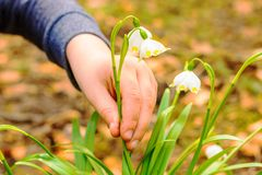 A detail of a hand busting a law protected flower. Spring snowflake flowers Leucojum vernum blooming in sunset. A detail of a hand busting a law protected flower stock images