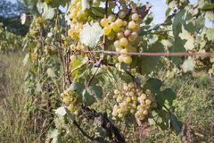 Detail of Handmade grape harvest in Georgian Vineyard. Ripe grape growing at wine fields. Nature background with Vineyard. ripe gr. Apes in the vineyard. Wine royalty free stock photo