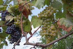 Detail of Handmade grape harvest in Georgian Vineyard. Ripe grape growing at wine fields. Nature background with Vineyard. ripe gr. Apes in the vineyard. Wine royalty free stock image