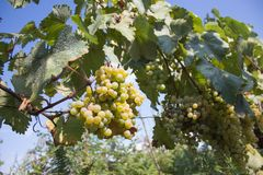 Detail of Handmade grape harvest in Georgian Vineyard. Ripe grape growing at wine fields. Nature background with Vineyard. ripe gr. Apes in the vineyard. Wine stock photos