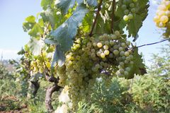 Detail of Handmade grape harvest in Georgian Vineyard. Ripe grapes with green leaves. Nature background with Vineyard. ripe grapes. In the vineyard. Wine Stock Images