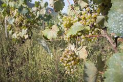 Detail of Handmade grape harvest in Georgian Vineyard. Ripe grapes with green leaves. Nature background with Vineyard. ripe grapes. In the vineyard. Wine Royalty Free Stock Photography