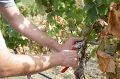 Detail of hands harvesting grapes Royalty Free Stock Photography