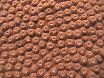 Detail - Hard Coral Stock Image