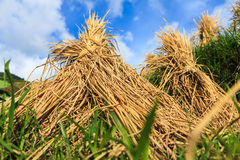 Detail of hay stacks drying on rice fields Stock Photography
