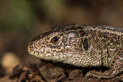 Detail of a Head Basking Sand Lizard (Lacerta agilis) in the Bar. K Mulch in the Evening royalty free stock photography