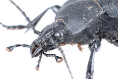 Detail of head of black beetle on a white background Royalty Free Stock Photography