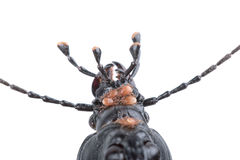 Detail of head of black beetle on a white background Royalty Free Stock Photos