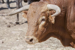 Detail of head of brave bull in the field. Andalusia, Spain Royalty Free Stock Photos