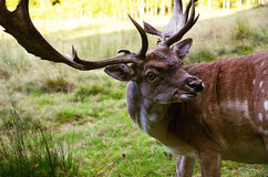 Detail of head of European fallow deer Royalty Free Stock Photography