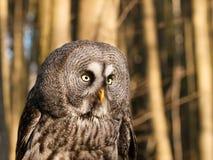 Detail of head of geat grey owl - Strix nebulosa. Portrait of one of largest owl - Great grey owl - Strix nebulosa royalty free stock photos